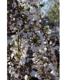 Prunus ser. Snow Fountain