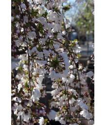Prunus serrulata 'Snow Fountains' SERPENTINE