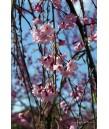 Prunus subhirtella Double Pink