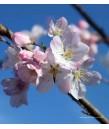 Prunus y. Akebono