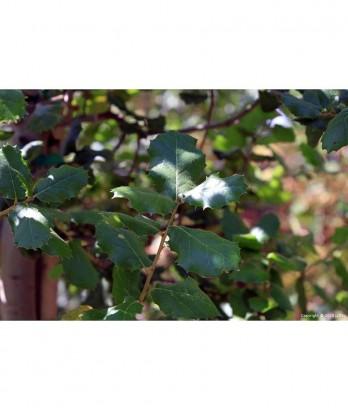 Quercus agrifolia Std