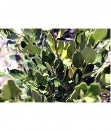 Rhamnus alaternus STD