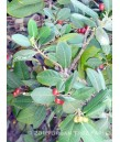 Rhamnus californica 'Eve Case'