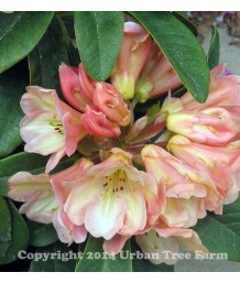 Rhododendron 'Honey Butter'