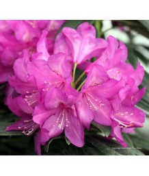 Rhody Purple Passion
