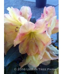 Rhododendron 'Golden Ruby'