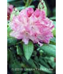 Rhododendron 'Holden'