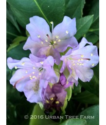 Rhododendron 'Lavender Queen'