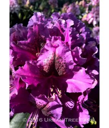 Rhody Purple Splendour