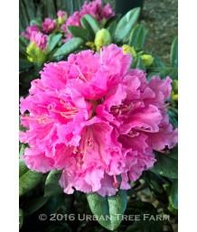 Rhododendron 'Rocket'