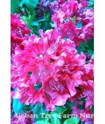 Rhododendron 'Trocadero'
