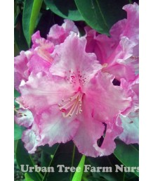 Rhododendron 'Trude Webster'