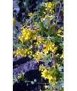 Ribes aureum 'Gracillimum'