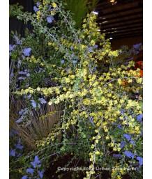 Ribes a. var gracillimum