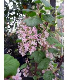 Ribes sanguineum 'King Edward VII' STD