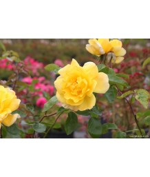 Rosa Golden Showers Cl