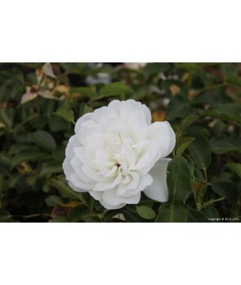 roses rosa meidiland white urban tree farm nursery. Black Bedroom Furniture Sets. Home Design Ideas