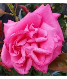 Rosa 'Miss All-America Beauty'