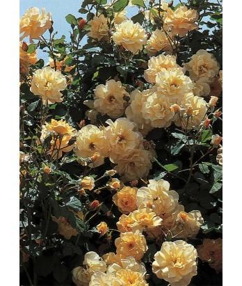 Rosa 'Autumn Sunset' CL