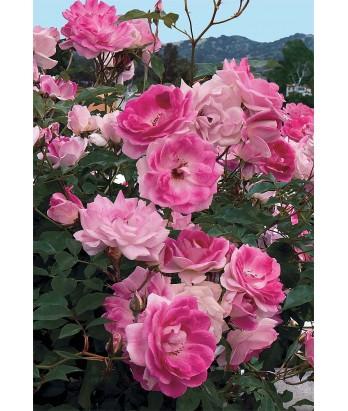 Rosa 'Brilliant Pink Iceberg' STD