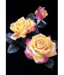 Rosa 'Chris Evert'