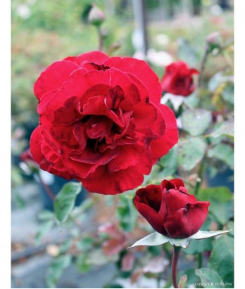 Rosa 'Don Juan' CL TRELLIS