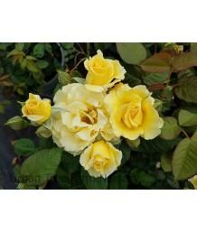 Rosa 'Doris Day'