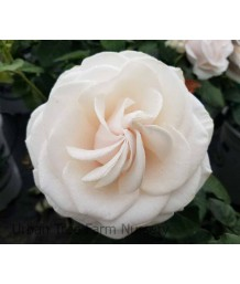 Rosa 'Easy Spirit'