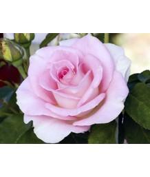 Rosa Falling In Love