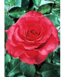 Rosa 'Fame!'