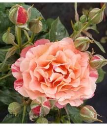Rosa 'Frida Kahlo'