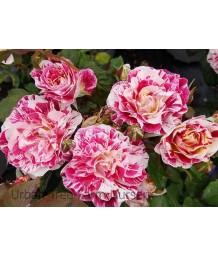 Rosa 'George Burns'