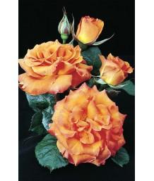 Rosa 'Gingersnap'
