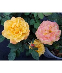 Rosa 'Good As Gold'