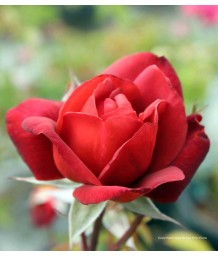 Rosa 'Hot Cocoa'
