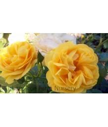 Rosa 'Julia Child'