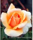 Rosa 'Just Joey'