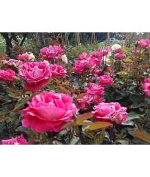 Rosa 'Love'