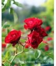 Rosa 'Meidiland Scarlet'