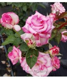Rosa 'Miss Congeniality'