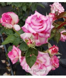Rosa 'Miss Congeniality' STD