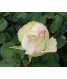 Rosa 'Moonstone'