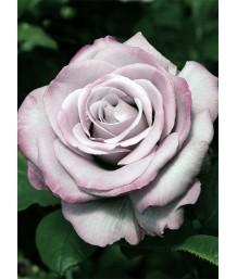Rosa Neptune