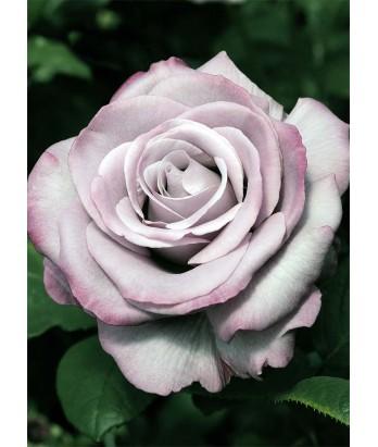 Rosa 'Neptune'