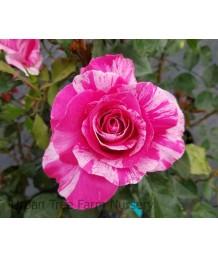 Rosa 'Parade Day' STD