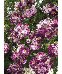 Rosa Purple Splash Cl.