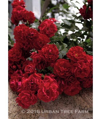 roses rosa red ribbons urban tree farm nursery