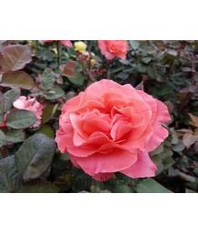 Rosa 'Sedona'