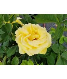 Rosa 'Shockwave'