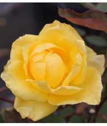 Rosa 'Sunbright'